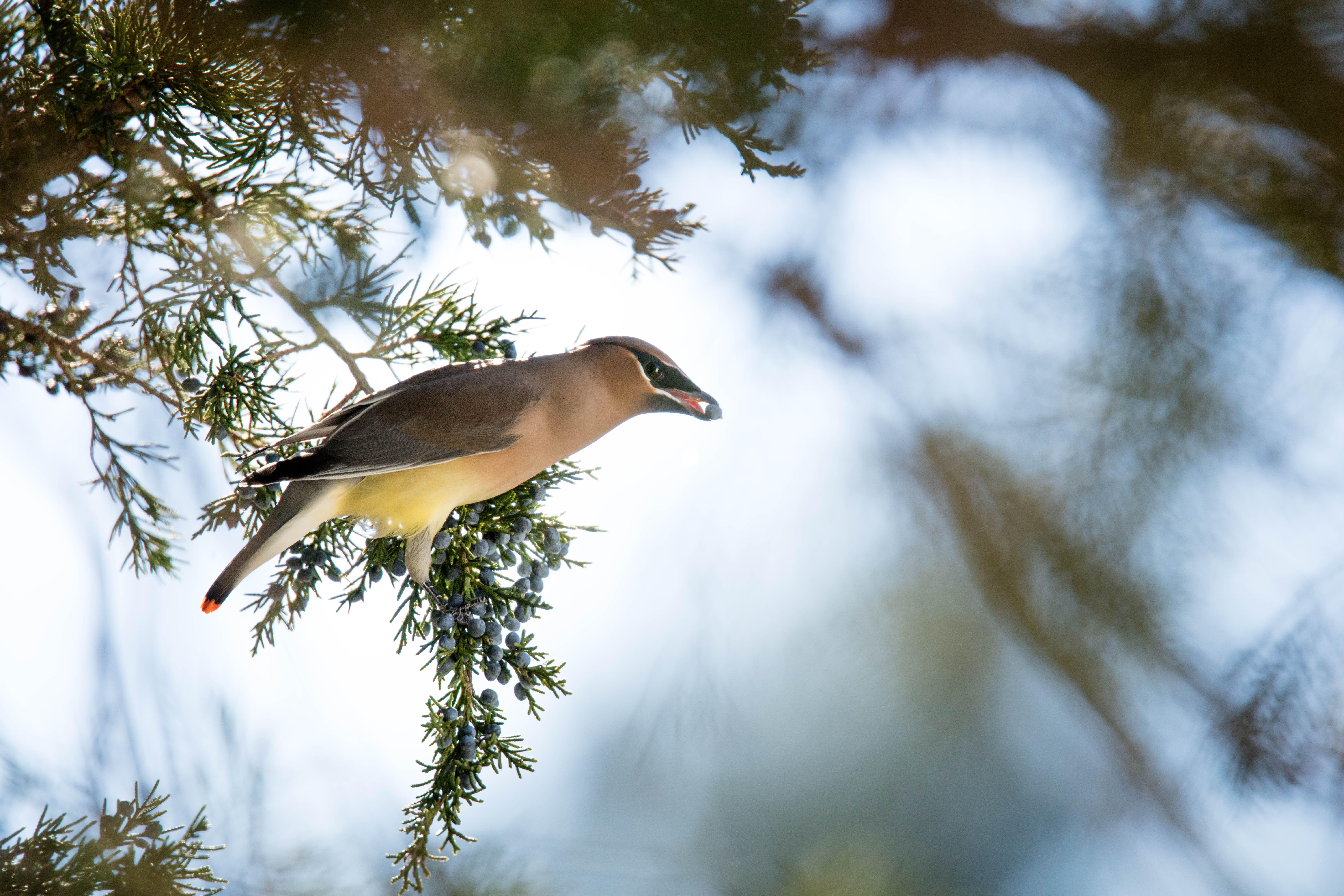 A cedar waxwing perched in a cedar tree. Photo Courtesy Shenandoah NPS.